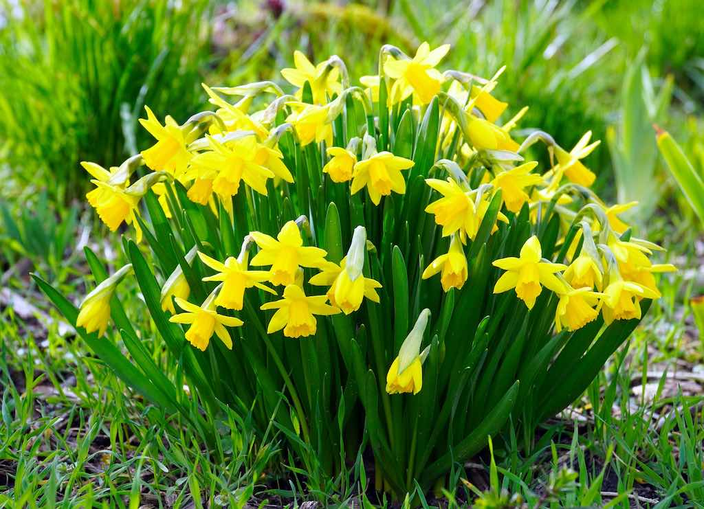 March Flowers: Daffodils, Grass - Hummingbird Haven